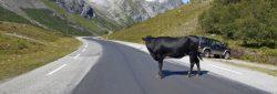 Smartia - Cuidado com animais na estrada!